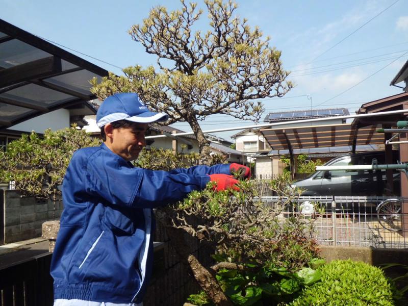 伸びすぎた松の枝葉の剪定、高さの調節を行います。<br>