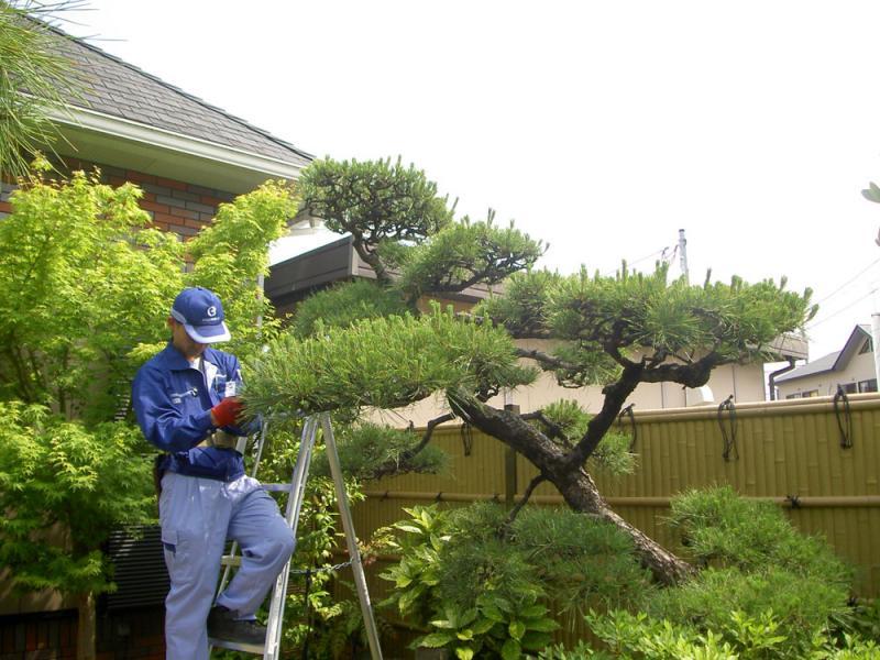 伸びすぎた松の枝葉の剪定、高さの調節を行います。 <br>