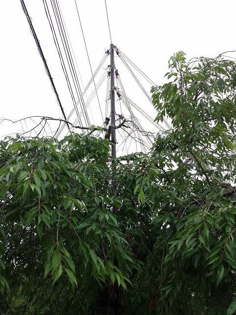 しだれ桜の枝吊り2