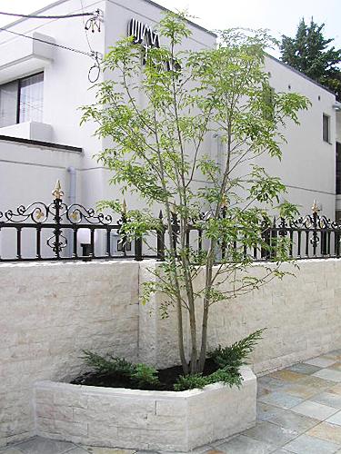 シンボルツリー シマトネリコ