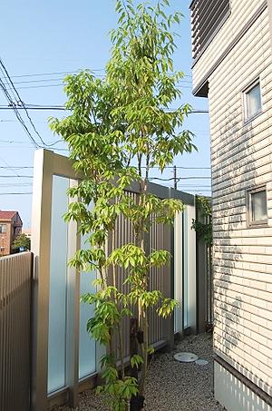 シンボルツリー シラカシ