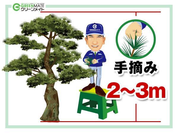 松の剪定2-3