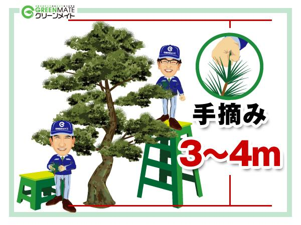 松の剪定3-4